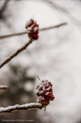 red sumac covered in snow