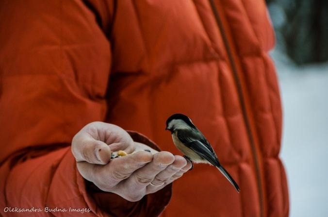 chickadee on a sitting hand