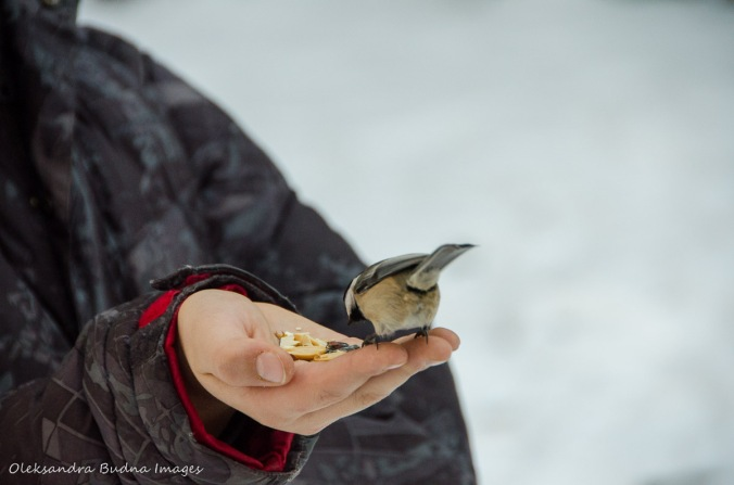 chickadee eatig seeds from a hand