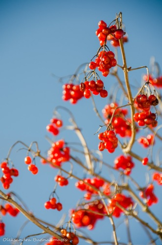 red snowball-tree berries