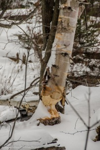 a tree chewed by beavers