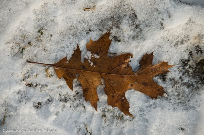 brown oak leaf on the snow