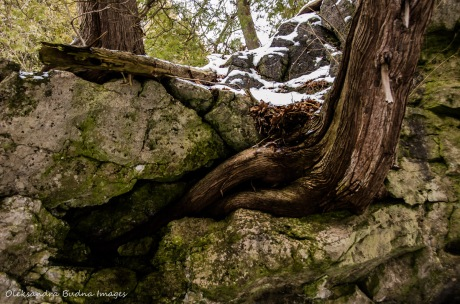 cedar growing on a rock at Rockwood Conservation Area