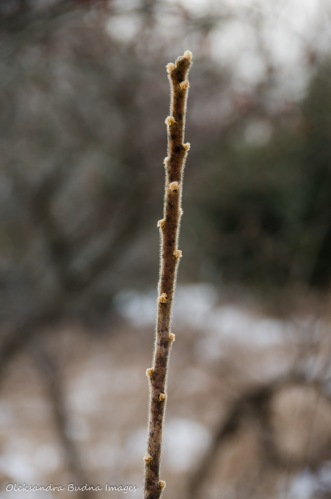 buds on red sumac branch