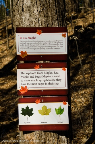 maple syrup facts at Kortright Centre for Conservation