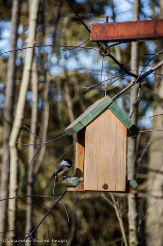 chickadee at a bird feeder