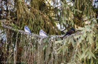 blue jays in Algonquin