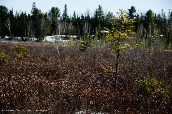 Spruce bog in Algonquin in the winter