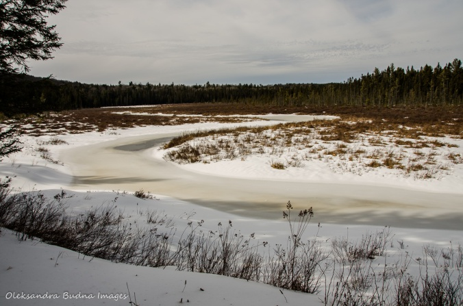 Spruce bog in Algonquin in the winter