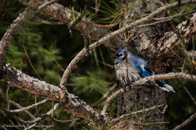 wet blue jay in a tree