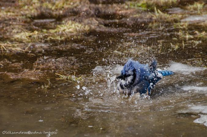 blue jay taking a bath