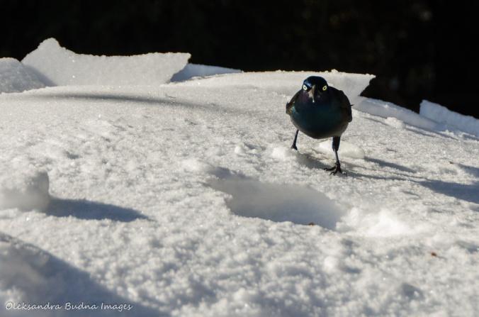 blackbird in Algonquin
