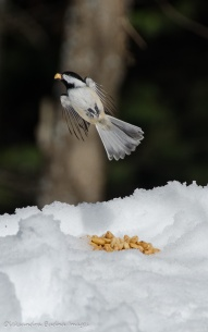 chickadee in Algonquin