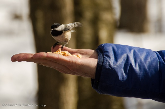 feeding chickadees at Silent Lake Provicial Park in the winter
