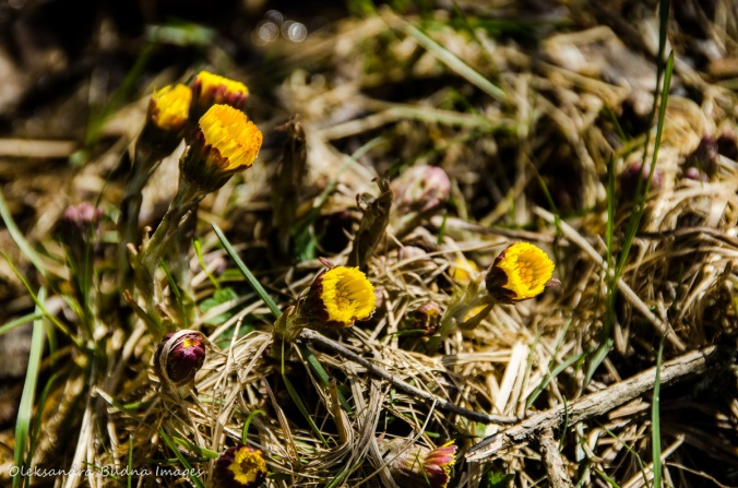 yellow spring flowers coltsfoot