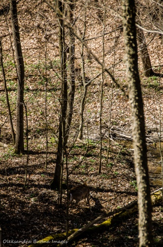 deer at Dundas Valley Conservation Area
