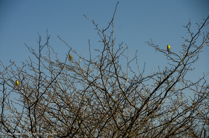 goldfinches in a tree