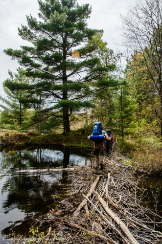 crossing a beaver dam at Queen Elizabeth II Wildlands