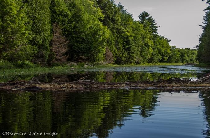 beaver damn on Carlyle Lake