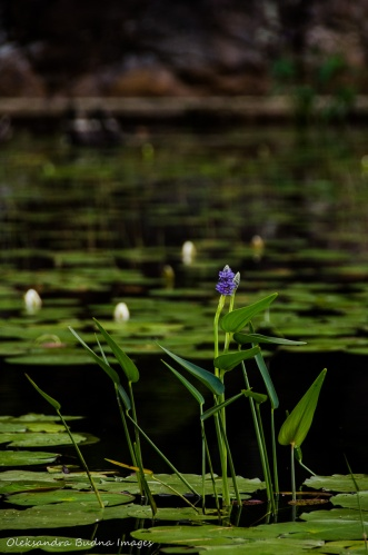pickerel weed in the water