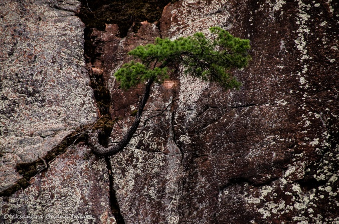 lone pine on a rock