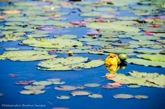 yellow watr lily
