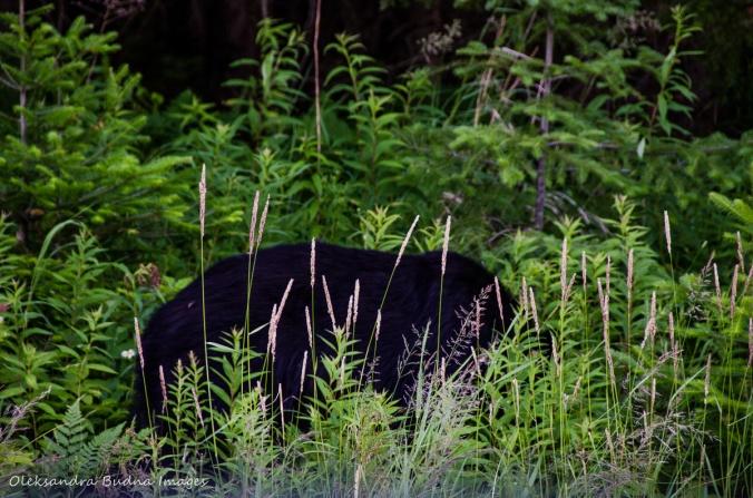 bear by the road in Killarney