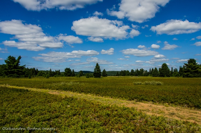 blueberry field in Algonquin