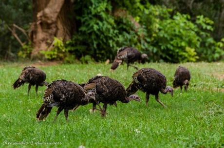 turkeys at Capitol Reef