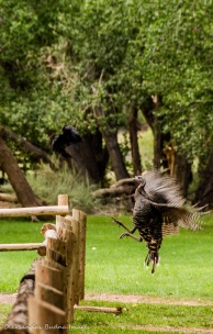 Raven and turkey fighting