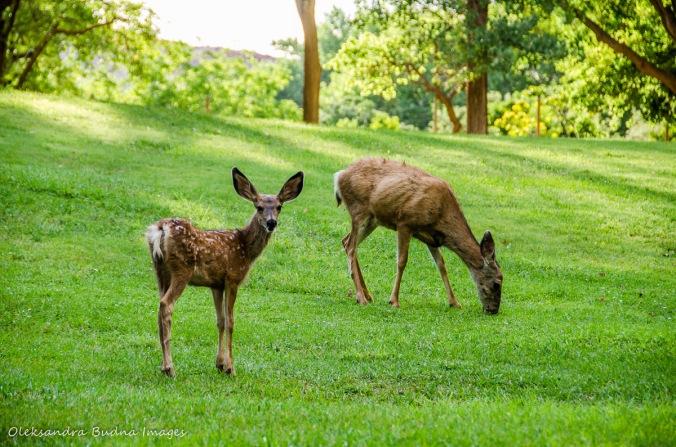 deer at Capitol Reef