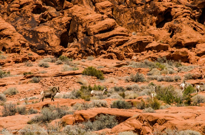 Bighorn Sheep at Valley of the Fire