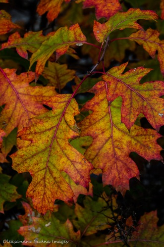 red and yellow oak leaves