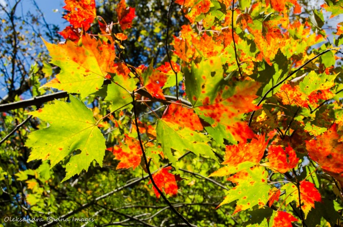 red and green maple leaves