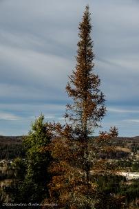 dry pine tree
