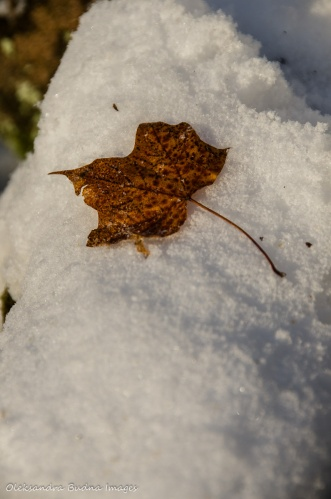 maple leaf on the snow