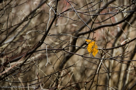 lone maple leaf in a tree