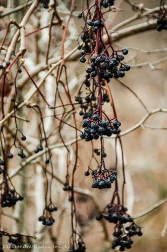 dark blue berries hanging on a branch