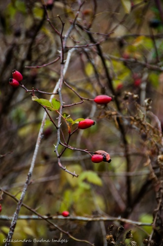 rosehip berries