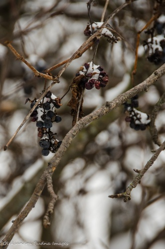 grapes under snow