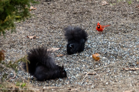 two squirrels and a red cardinal