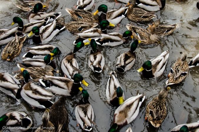 ducks in the creek in the winter