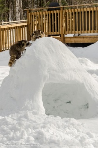 two racoon on an igloo
