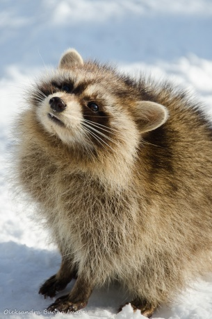 racoon close-up