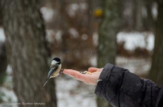 hand feeding a chickadee