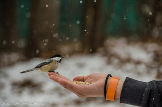 hand feeding a chickadee