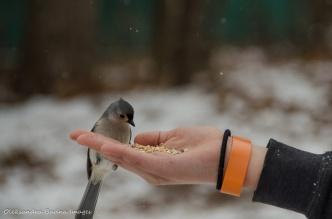 hand feeding a tufted titmouse