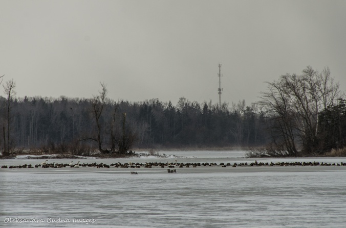 geese and swans on the water reservoir at Mountsber Conservation Area in winter