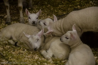 lambs in the animal barn at Mountsber Conservation Area