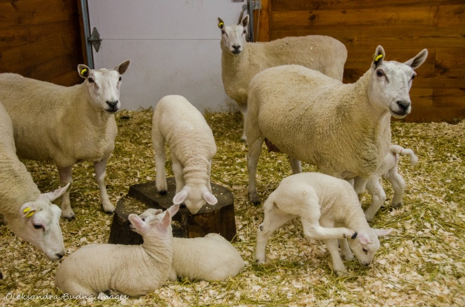 sheep in the animal barn at Mountsber Conservation Area